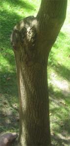 grassbaum